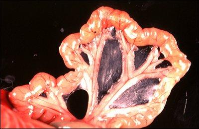 peritoneum mesentery and omentum rh vivo colostate edu Colon Mesentery Cat Dissection Mesentery Membrane