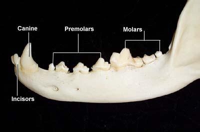 Dental Anatomy Of Dogs