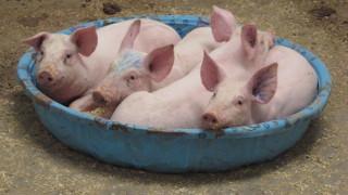 dental anatomy of pigs. Black Bedroom Furniture Sets. Home Design Ideas