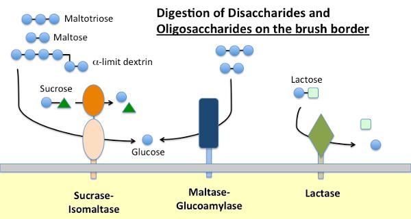 Small Intestinal Brush Border Enzymes